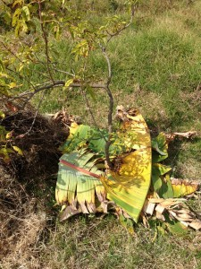 Use what you got! Banana leaves as a first layer in this sheetmulch.